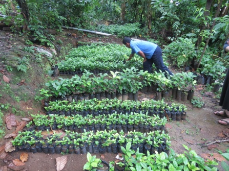 A coffee plant nursery.