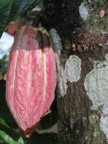 A cocoa fruit.